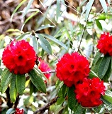 Highlanders flower 1